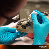 Saving Sea Turtles Comes to the Rescue on Documentary Showcase